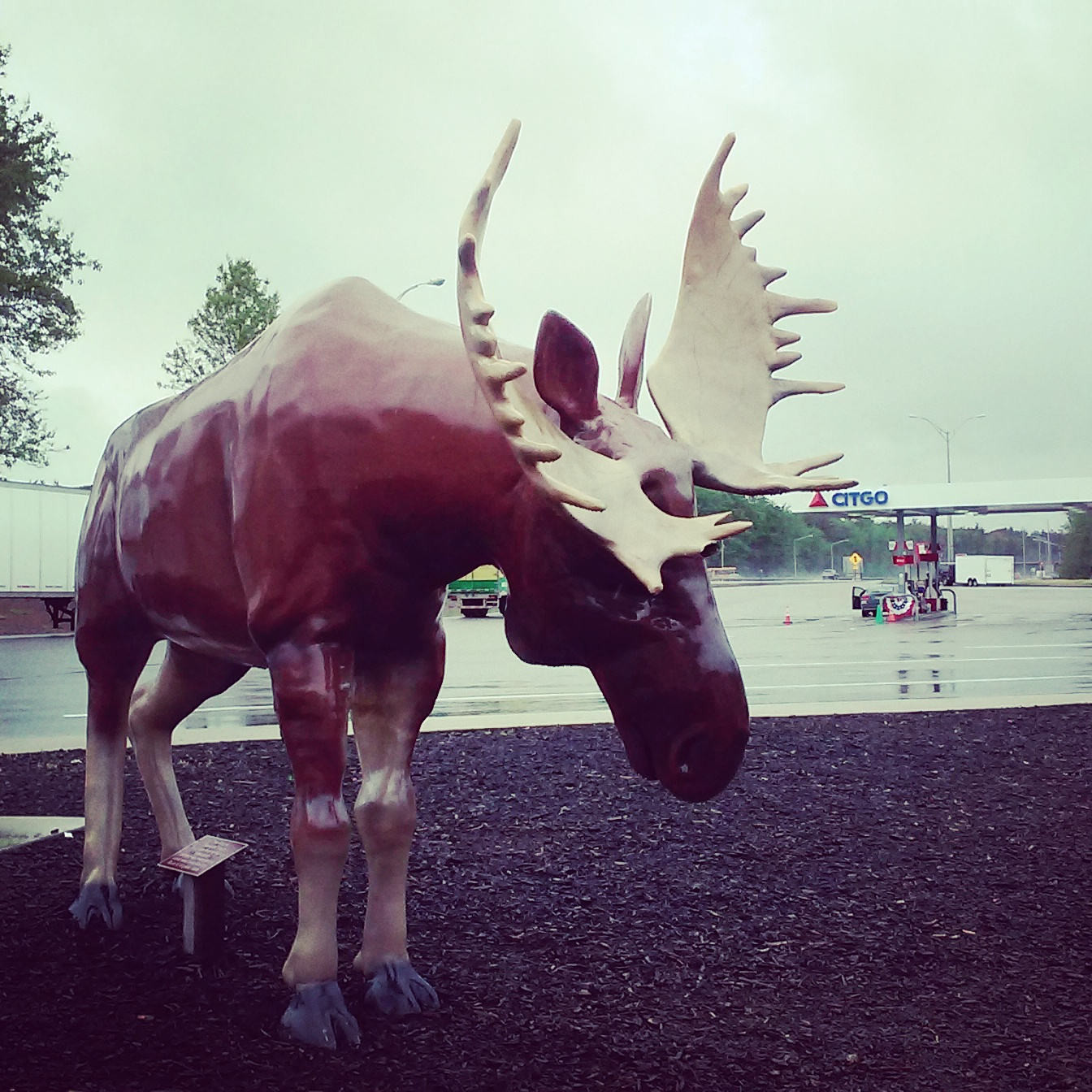 Maine moose