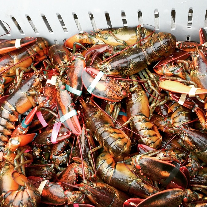 lobster life release Maine