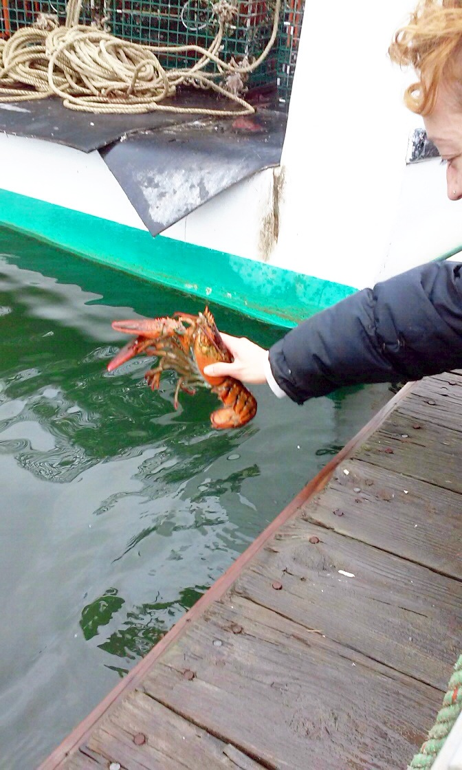 Maine lobster release